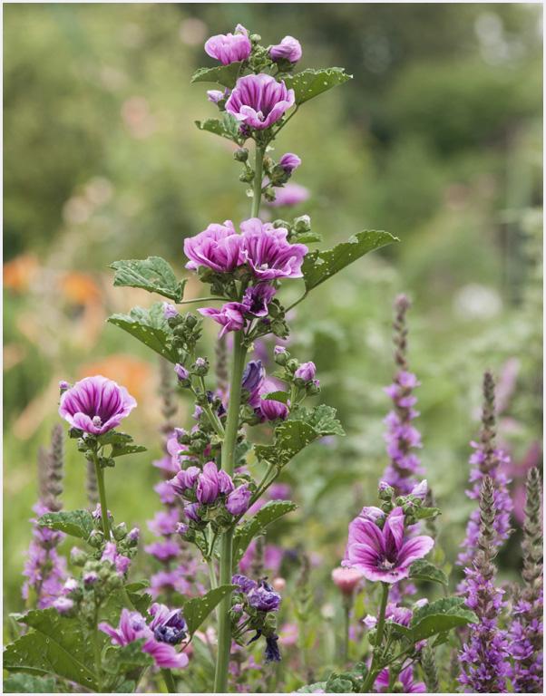 Nature fleurs des jardins roses tremieres giverny - Planter des roses tremieres ...